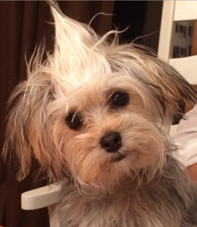 morkie with funny messy hair