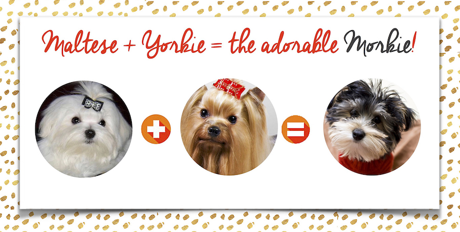 What is a morkie?