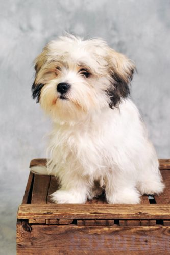 Mostly all white Morkie with dark ear tips, sitting on a table.