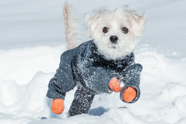 A little white puppy in a full snowsuit, from Dogster.com