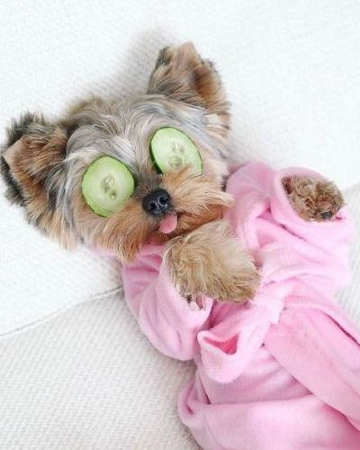 But relaxing Morkie in a pink robe, pretending to be at a spa