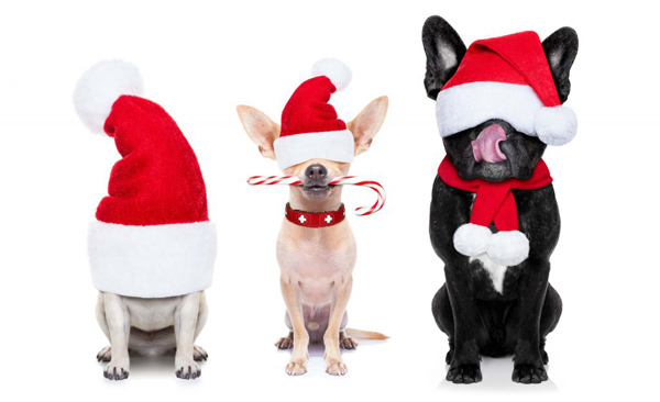 Three small dogs with Santa hats on, waiting for old st. nick