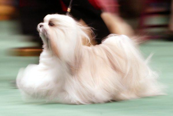 show dog maltese