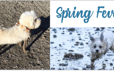 Your Morkie and Spring Fever