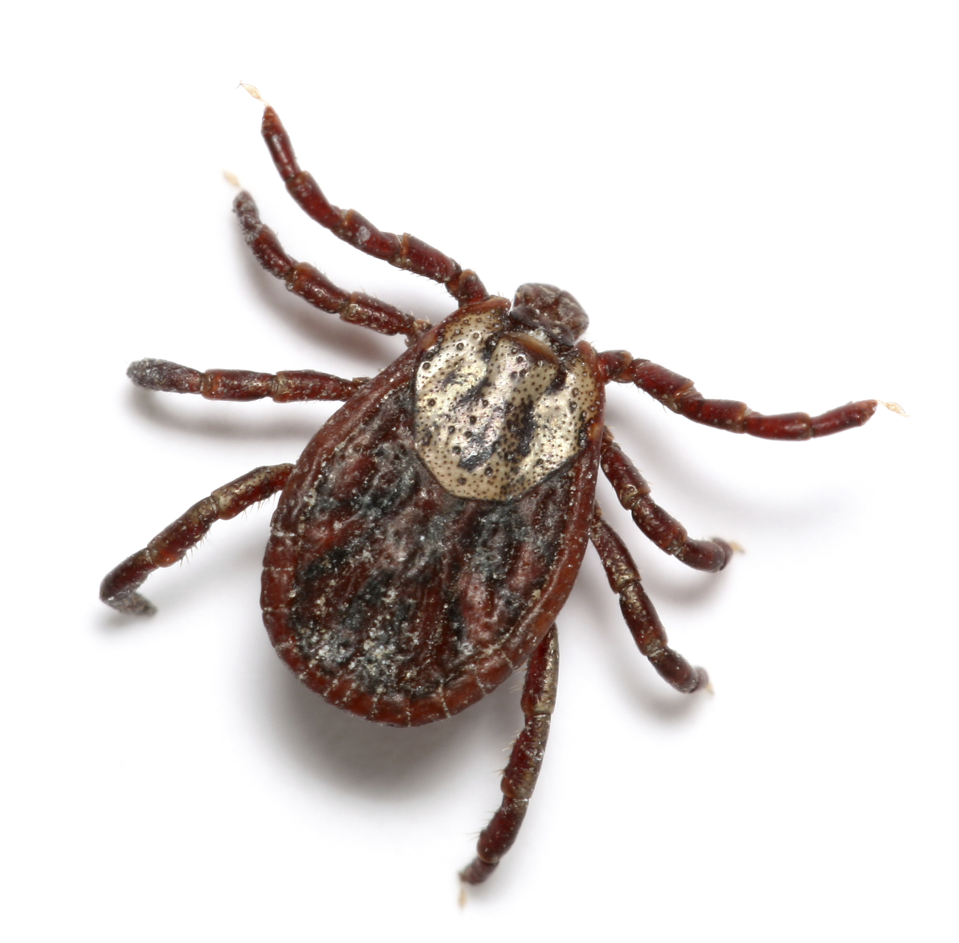 the nasty tick on dogs