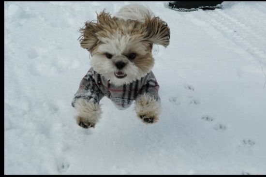 A tiny Morkie, wearing a snow suit in the snow.