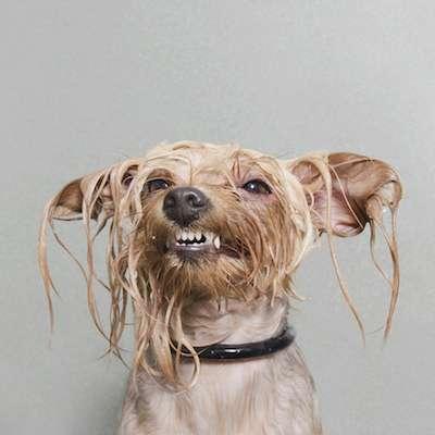 upset, wet dog