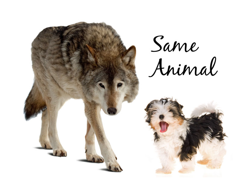 your dog and a wolf are the same