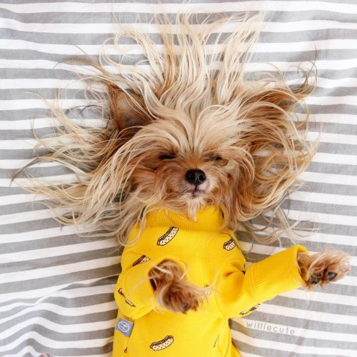 Dog with a yellow top and crazy messy bed head.