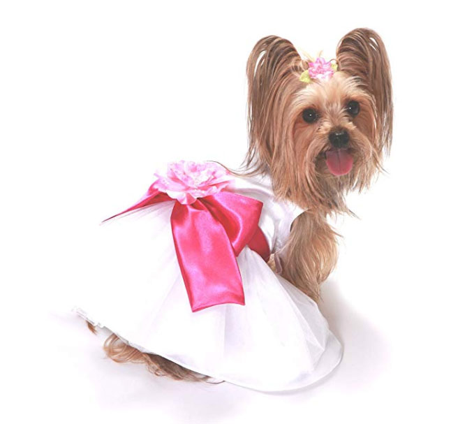 Yorkie in wedding dress