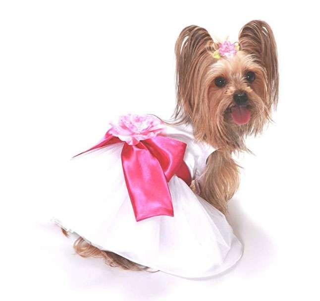Yorkie in wedding dress