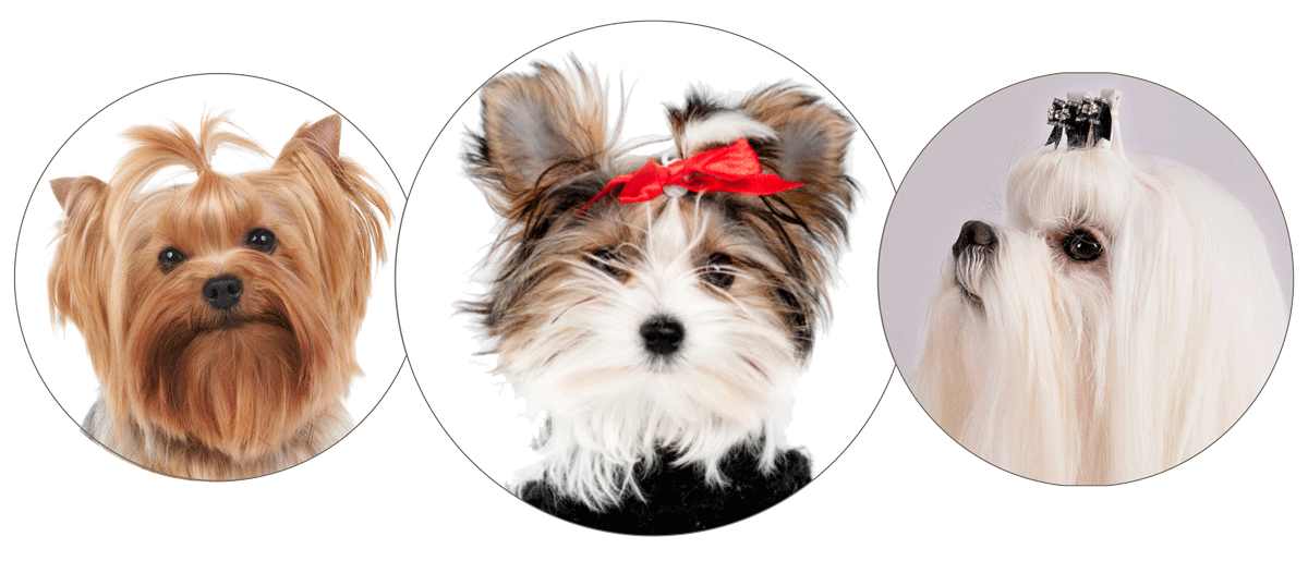 Picture of Morkie, Yorkie and Maltese dogs