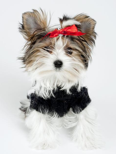 little Morkie puppy